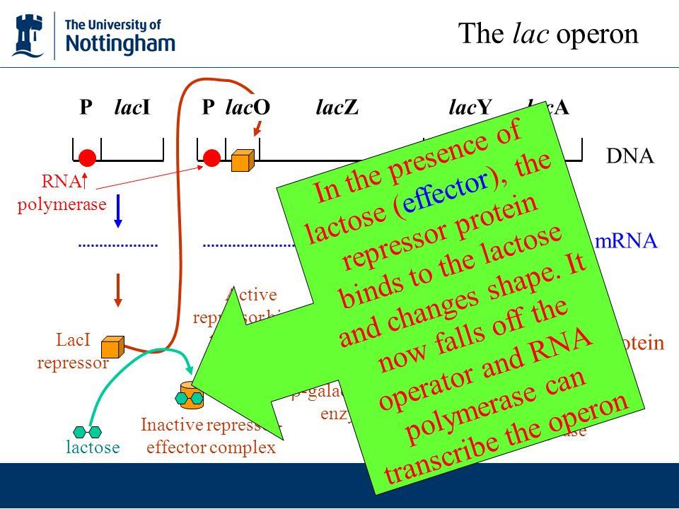 The lac operon P lacI P lacO lacZ lacY lacA. DNA.