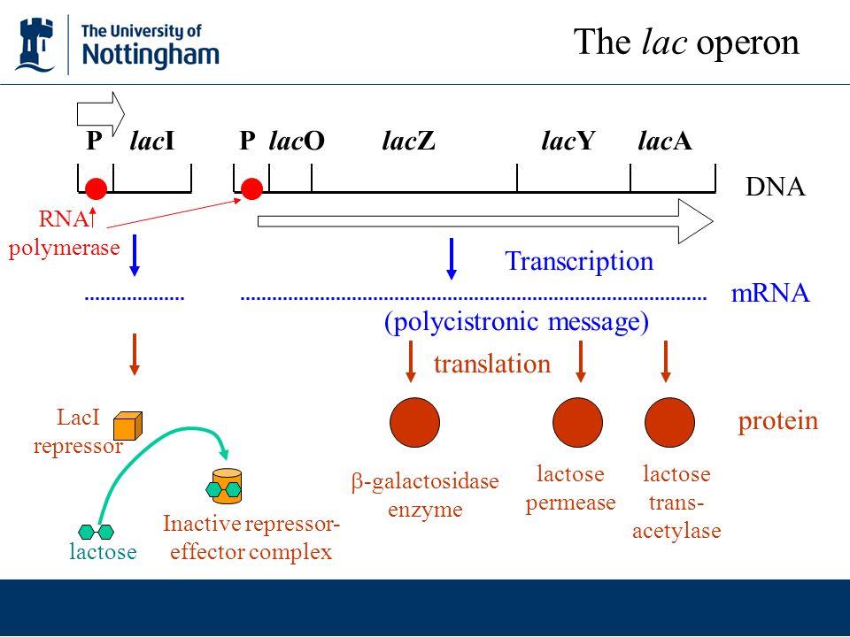 The lac operon P lacI P lacO lacZ lacY lacA DNA Transcription mRNA