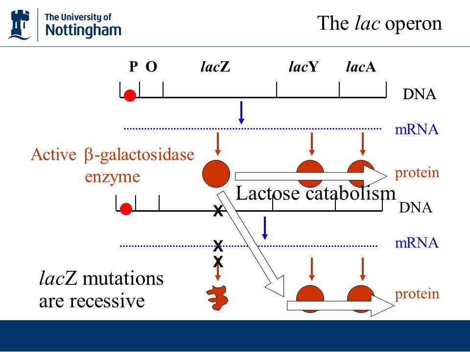 Active -galactosidase enzyme