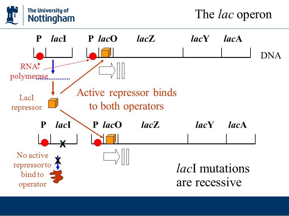 lacI mutations are recessive