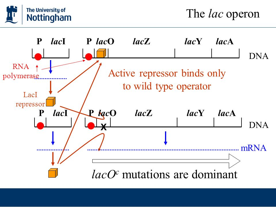 Active repressor binds only to wild type operator