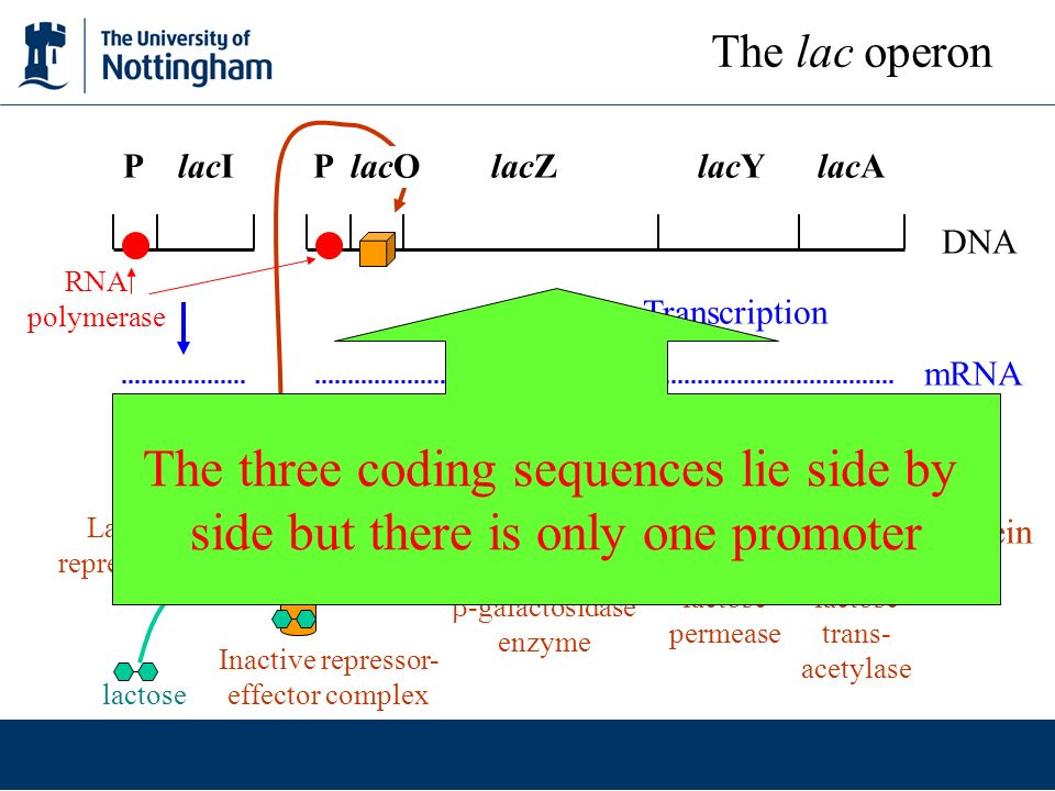 The three coding sequences lie side by