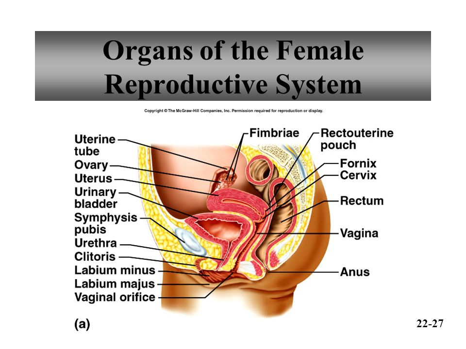 Organs Of The Female Reproductive System Ppt Video Online Download