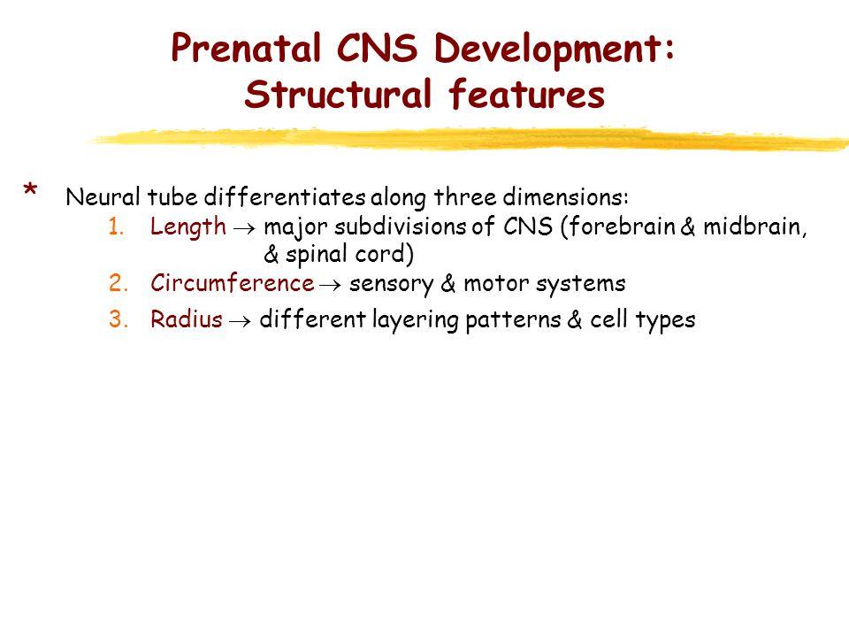 Prenatal CNS Development: Structural features