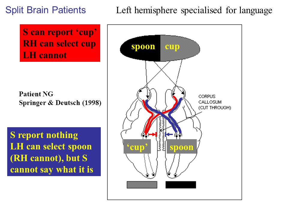 Left hemisphere specialised for language