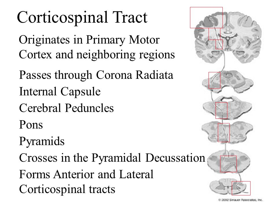 Corticospinal Tract Originates in Primary Motor