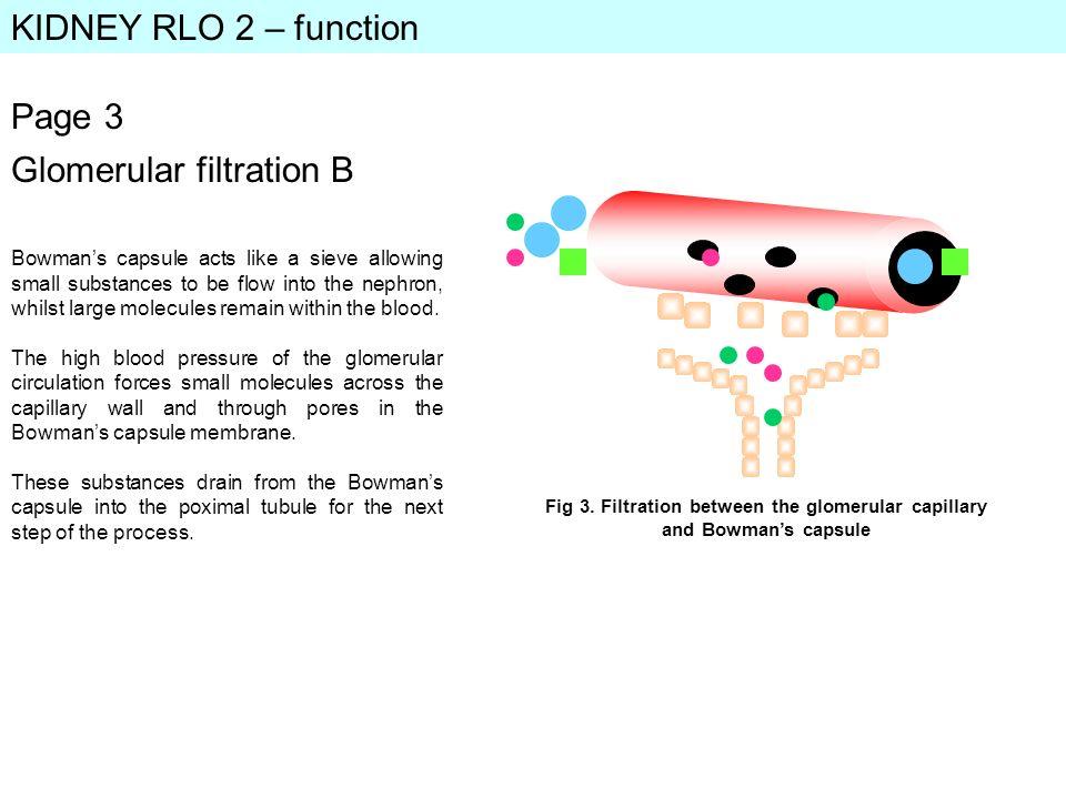 Fig 3. Filtration between the glomerular capillary