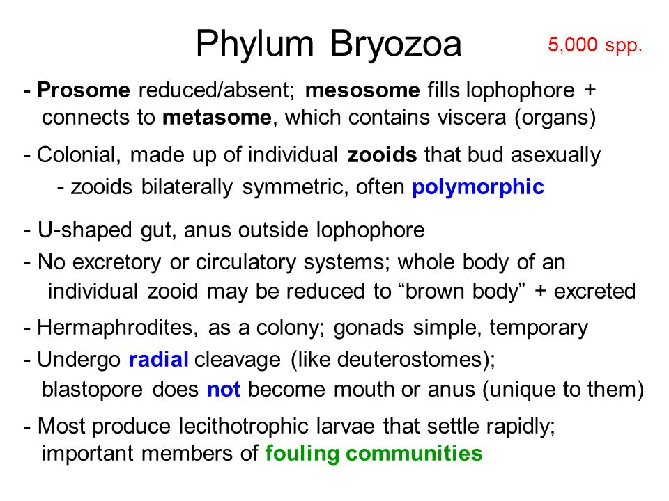 Phylum Bryozoa - Prosome reduced/absent; mesosome fills lophophore +