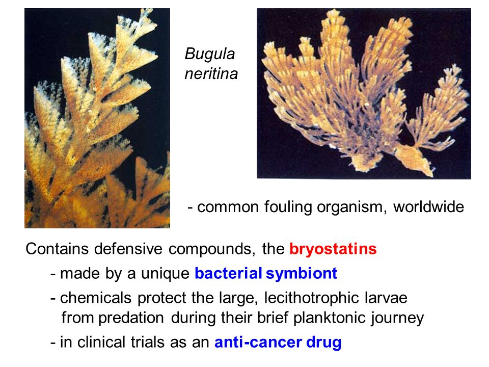 Bugula neritina. - common fouling organism, worldwide. Contains defensive compounds, the bryostatins.
