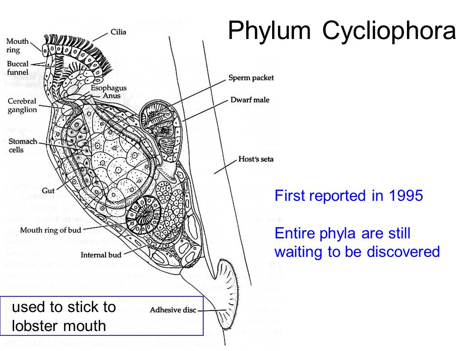 Phylum Cycliophora First reported in 1995 Entire phyla are still