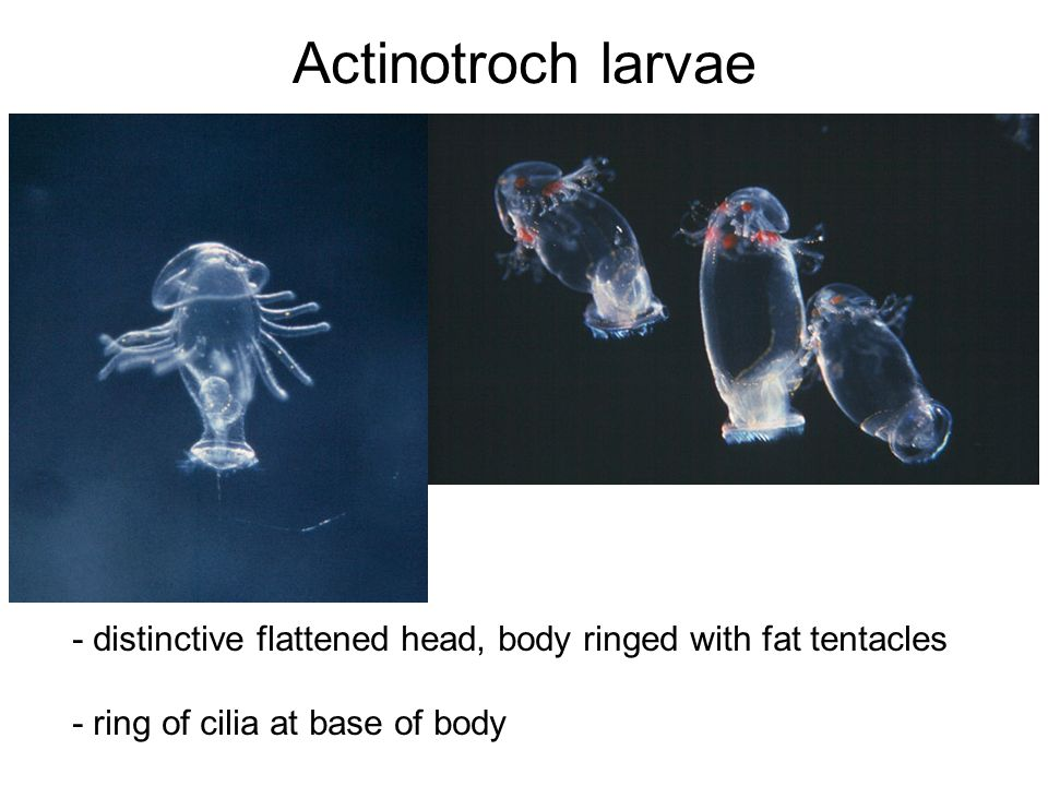 Actinotroch larvae - distinctive flattened head, body ringed with fat tentacles.