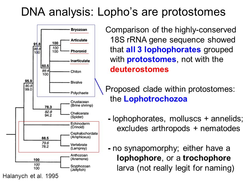DNA analysis: Lopho's are protostomes