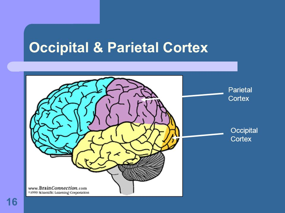Occipital & Parietal Cortex