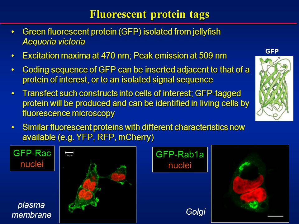 Fluorescent protein tags