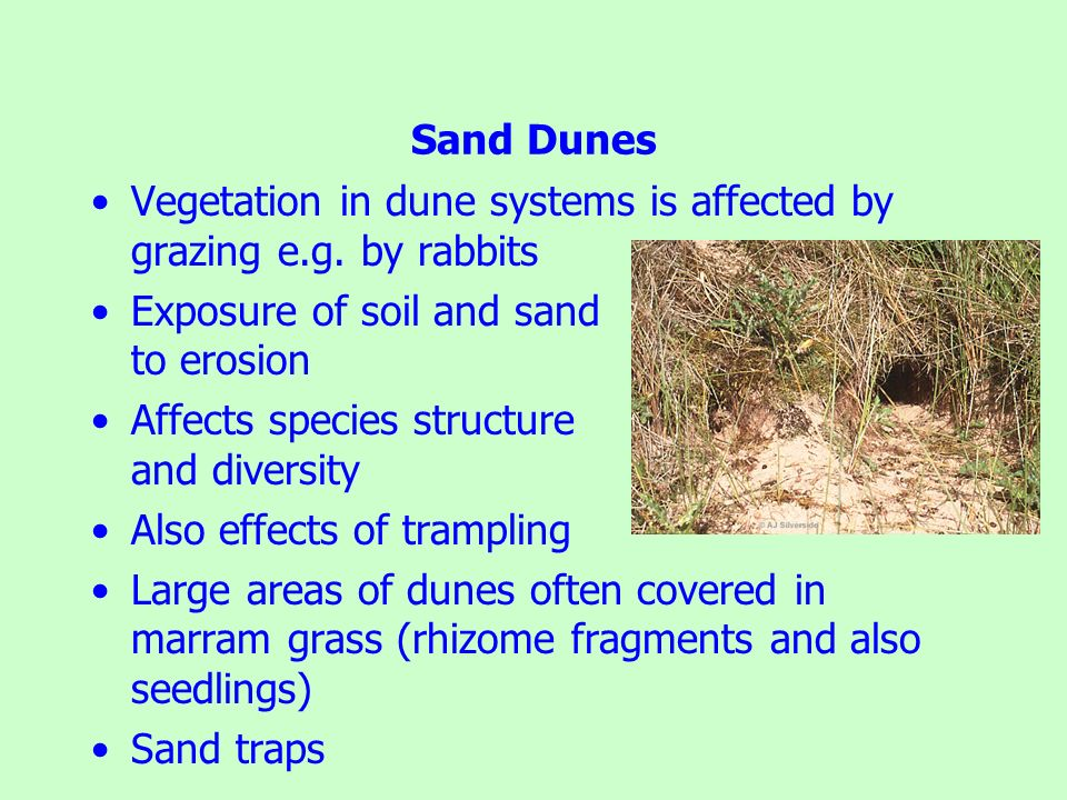 Sand Dunes Vegetation in dune systems is affected by grazing e.g. by rabbits. Exposure of soil and sand to erosion.