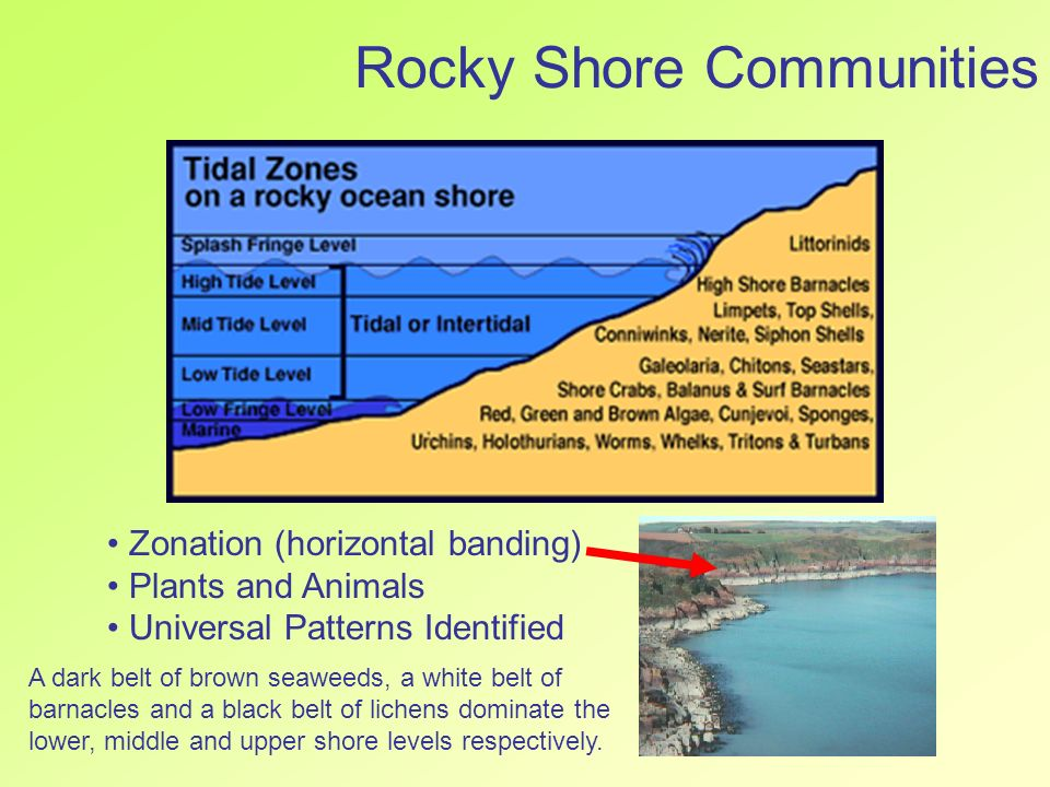 a study of shore crab response to intertidal stimuli