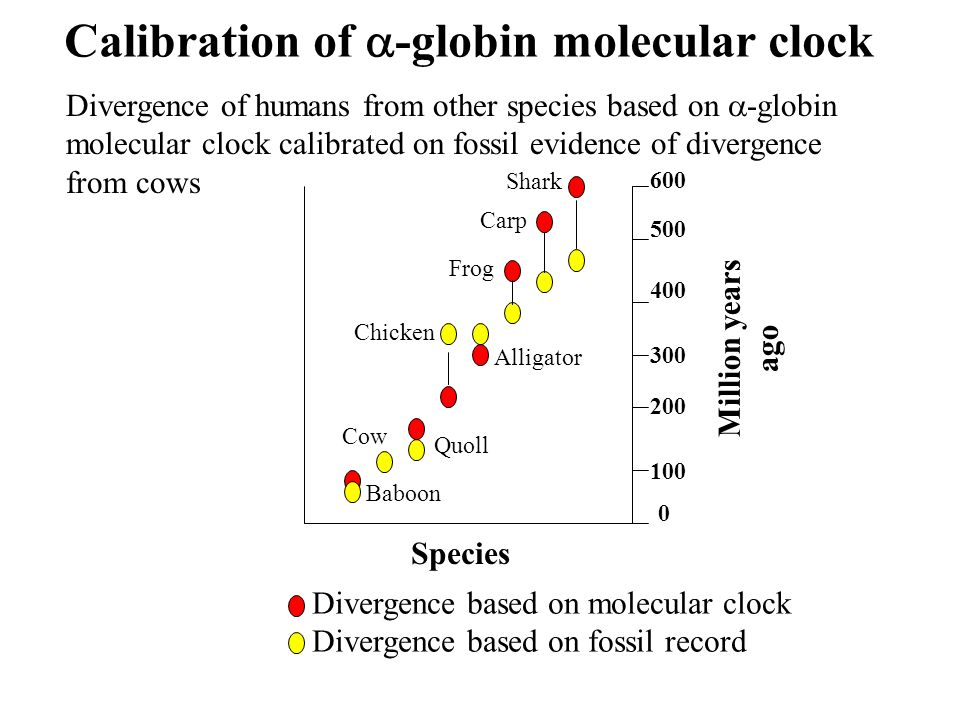 Calibration of -globin molecular clock