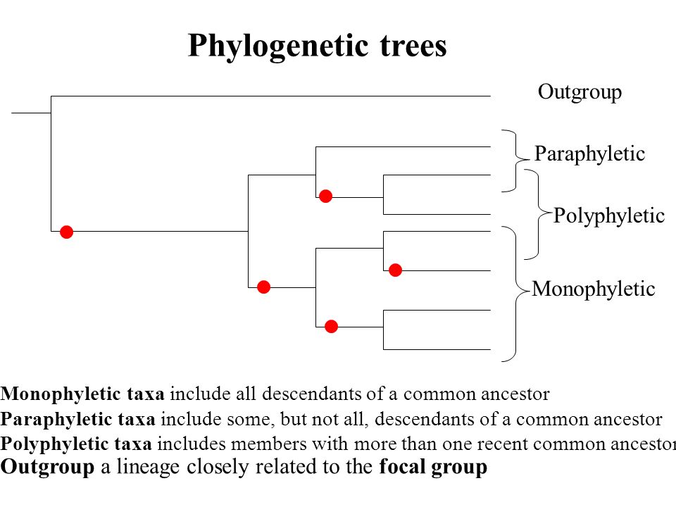 Phylogenetic trees Outgroup Paraphyletic Polyphyletic Monophyletic