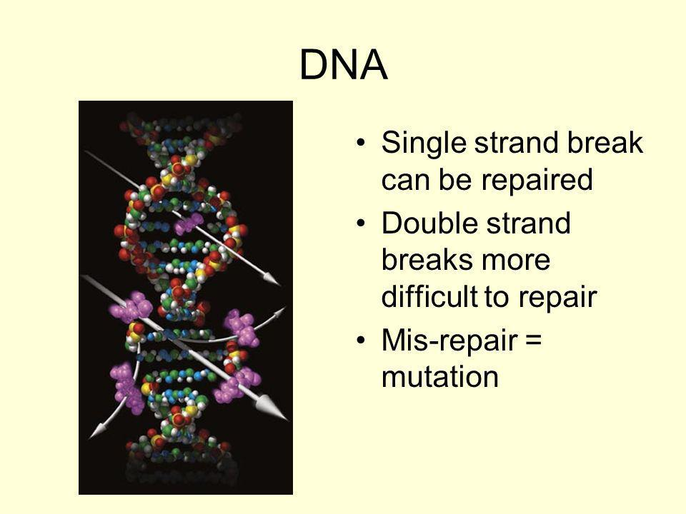 DNA Single strand break can be repaired
