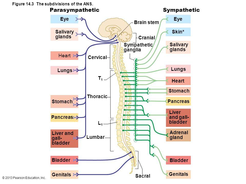 Parasympathetic Sympathetic Eye Eye Brain stem Salivary Skin* glands