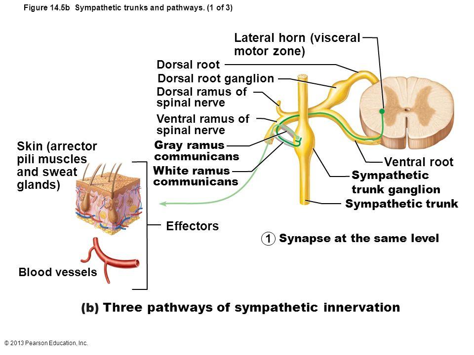 Lateral horn (visceral motor zone)