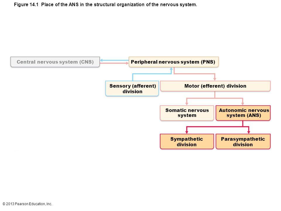Central nervous system (CNS) Peripheral nervous system (PNS)