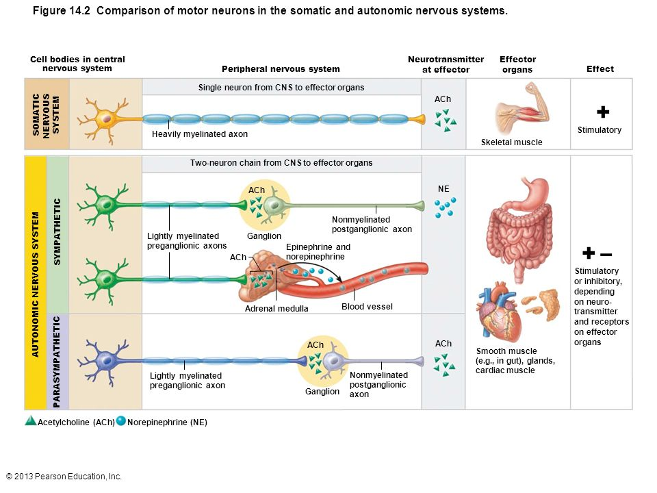 Figure 14.2 Comparison of motor neurons in the somatic and autonomic nervous systems.