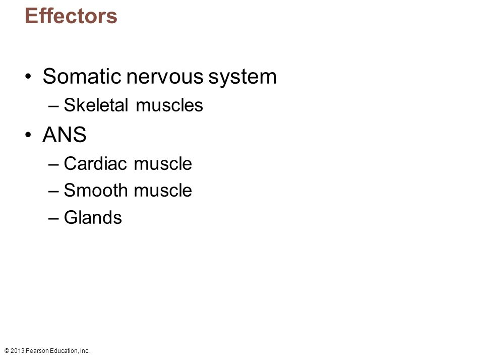 Somatic nervous system ANS