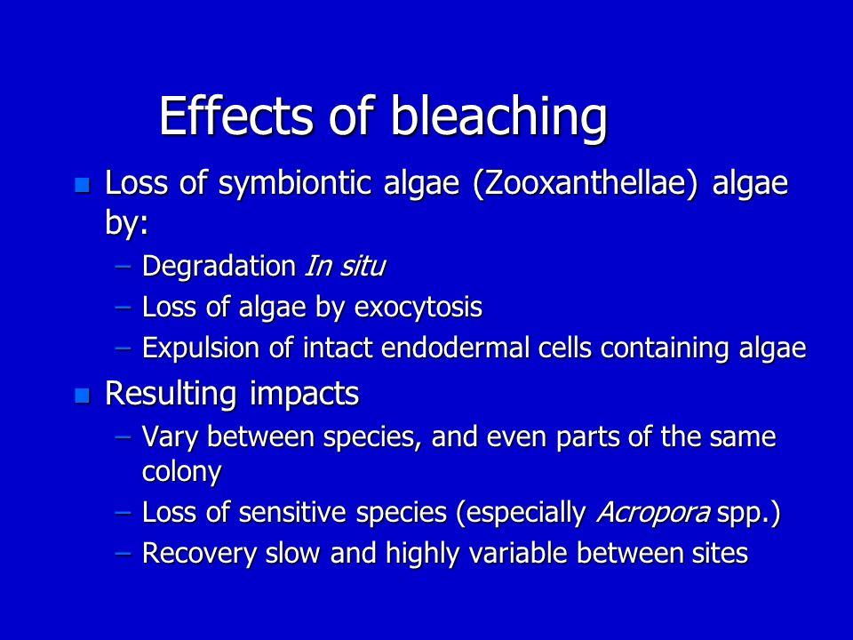 Effects of bleaching Loss of symbiontic algae (Zooxanthellae) algae by: Degradation In situ. Loss of algae by exocytosis.