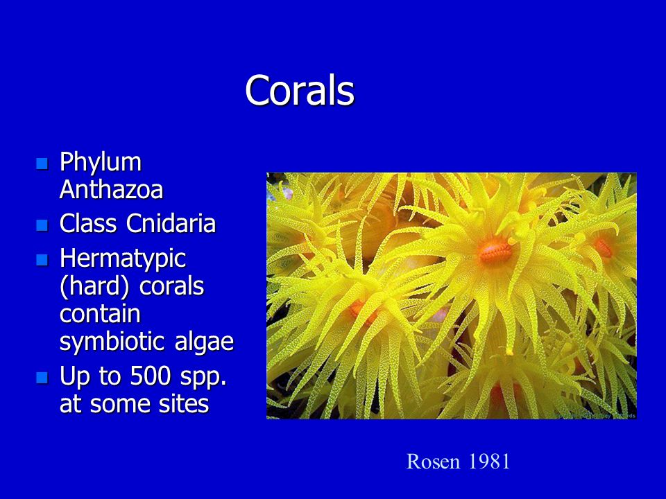 Corals Phylum Anthazoa Class Cnidaria