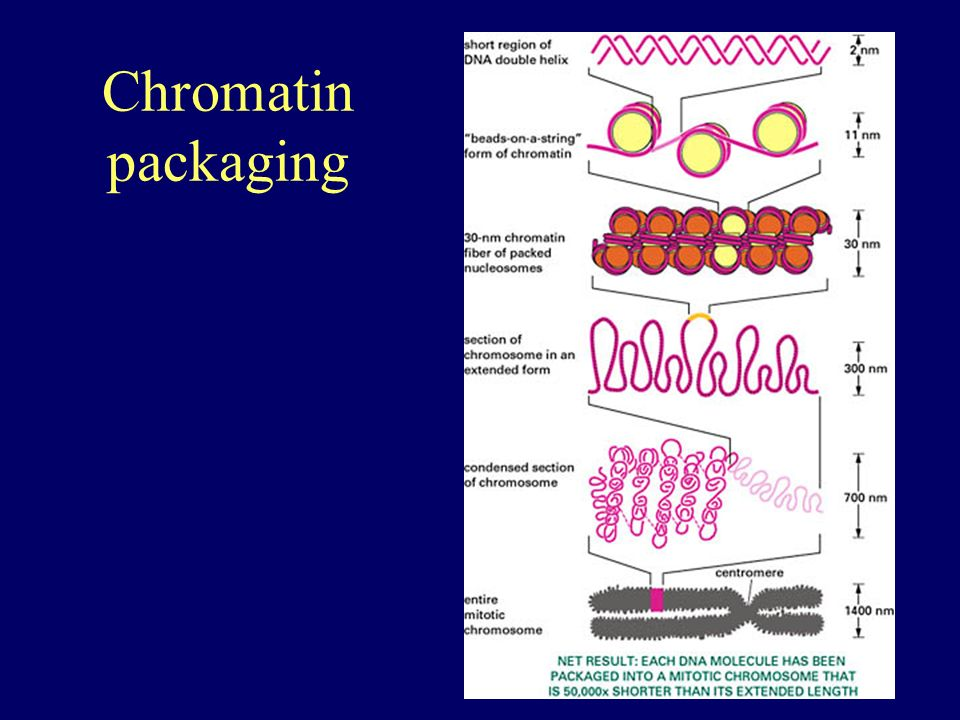 Chromatin packaging