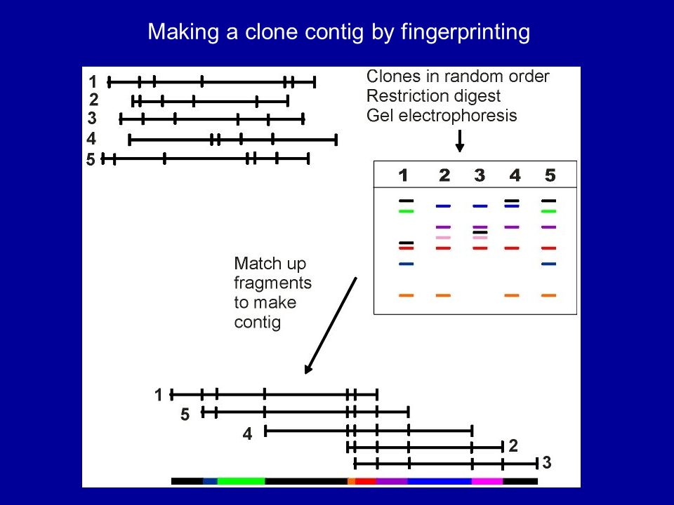 Making a clone contig by fingerprinting
