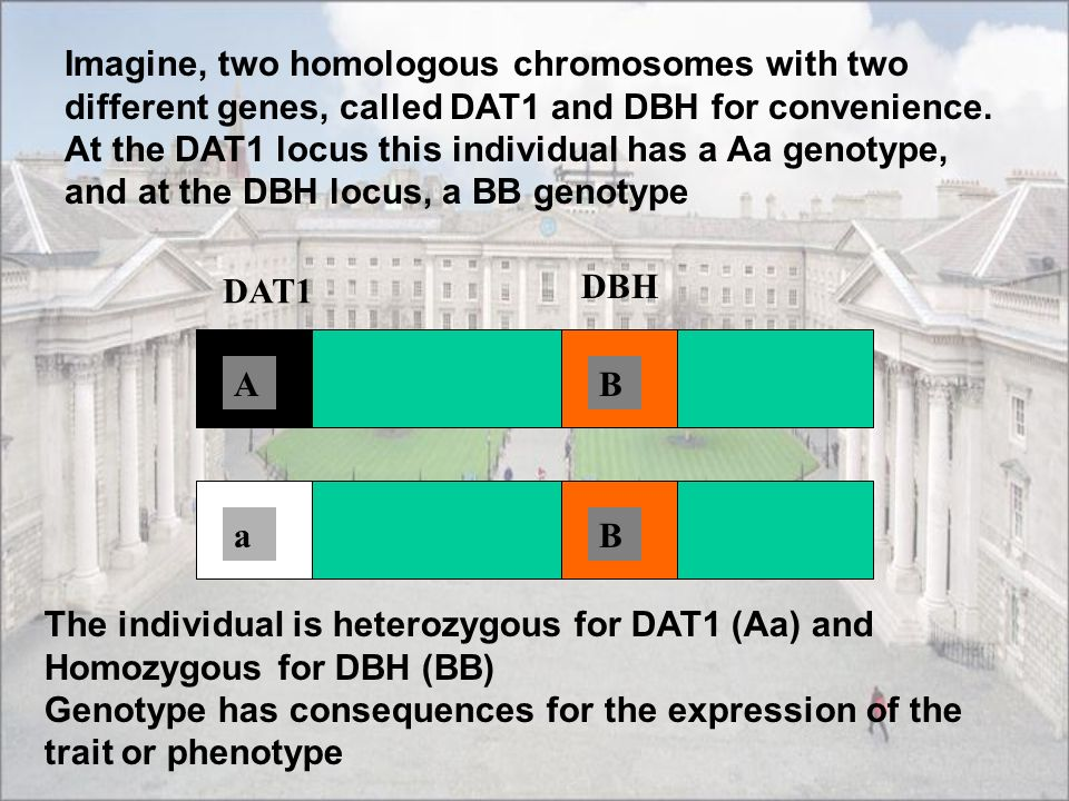 Imagine, two homologous chromosomes with two different genes, called DAT1 and DBH for convenience. At the DAT1 locus this individual has a Aa genotype, and at the DBH locus, a BB genotype