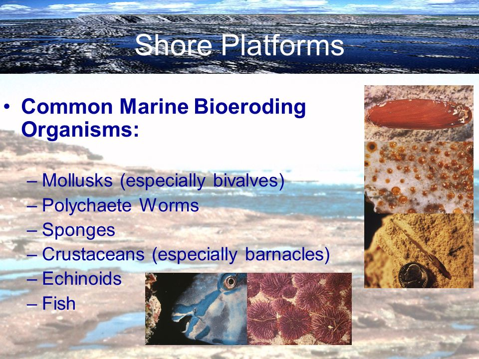 Shore Platforms Common Marine Bioeroding Organisms: