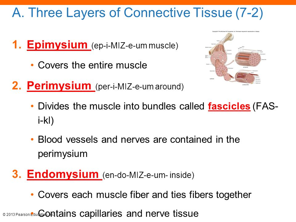 layers of connective tissue Skin consists of three distinct layers: the epidermis, the dermis, and the subcutaneous layer (figure 1-1) the top layer, the epidermis, is attached to the second layer, the dermis the dermis is thick, connective tissue individuals with thick skin have a relatively thick epidermis.