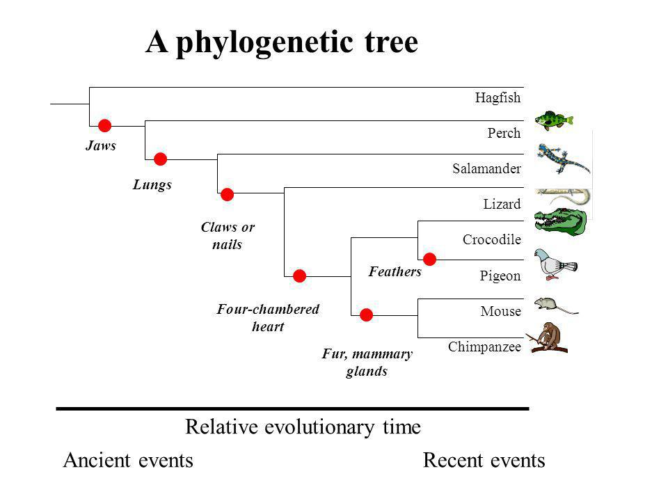A phylogenetic tree Relative evolutionary time Ancient events
