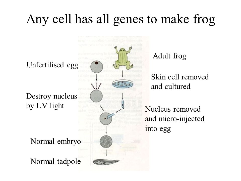 Any cell has all genes to make frog