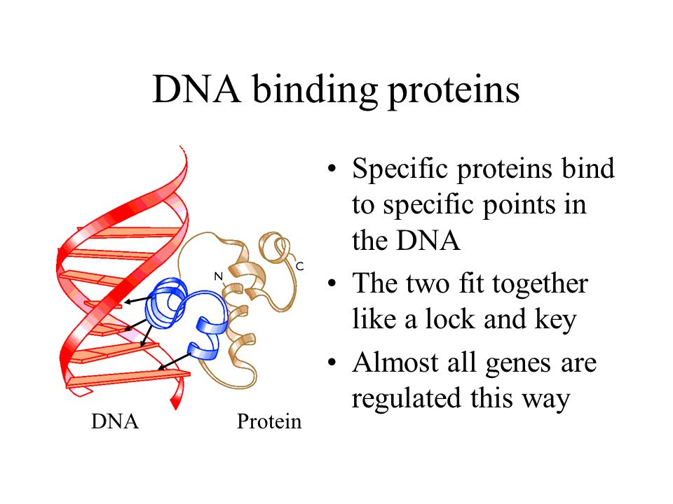 DNA binding proteins Specific proteins bind to specific points in the DNA. The two fit together like a lock and key.
