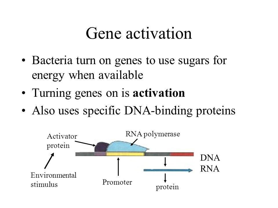 Gene activation Bacteria turn on genes to use sugars for energy when available. Turning genes on is activation.