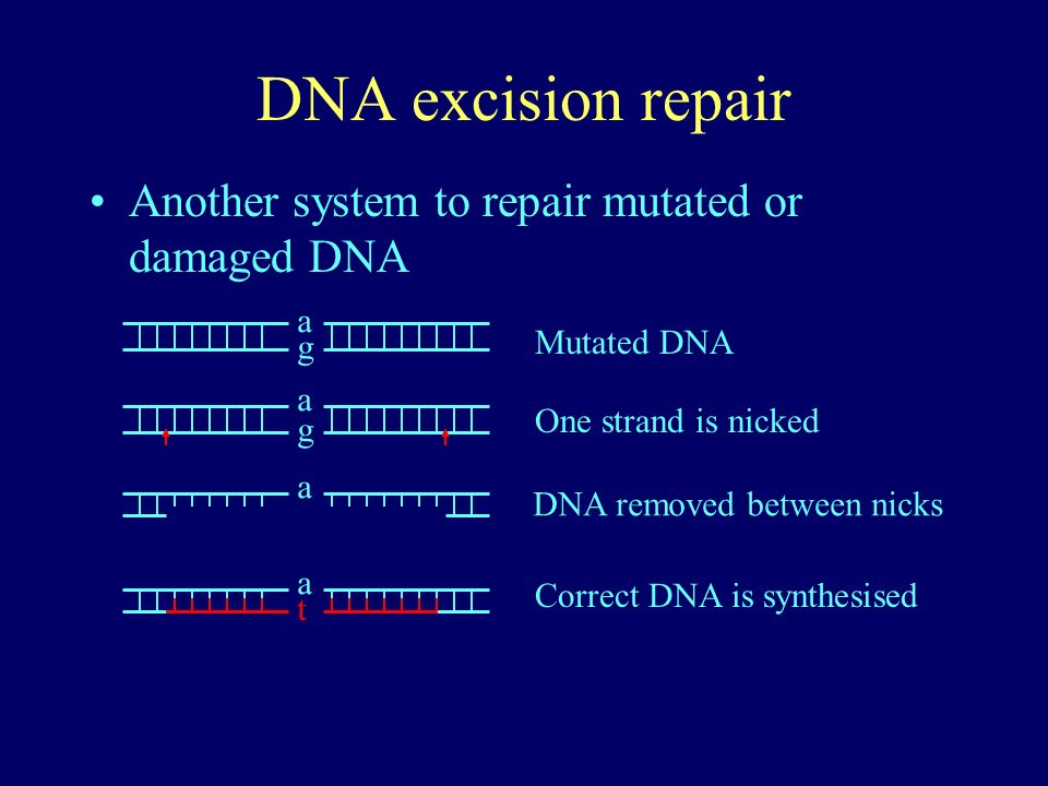 DNA excision repair Another system to repair mutated or damaged DNA a