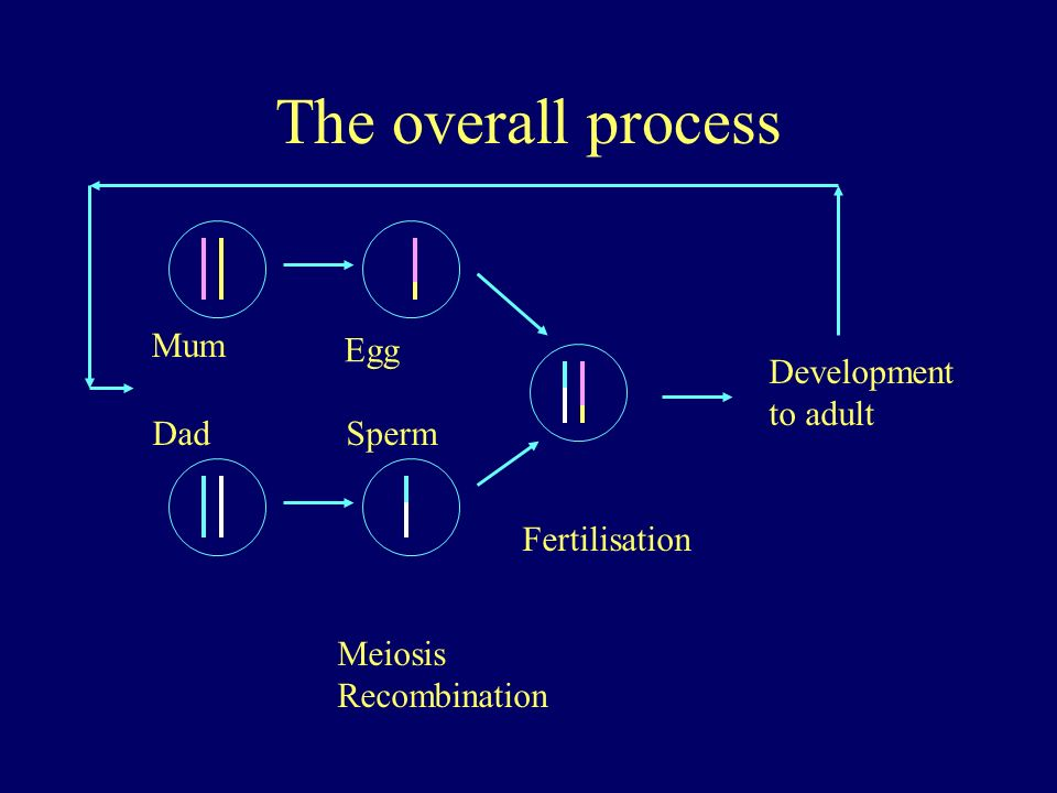 The overall process Mum Egg Development to adult Dad Sperm
