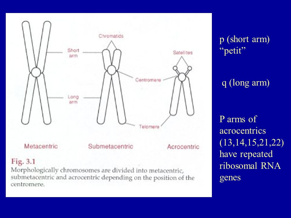 p (short arm) petit q (long arm) P arms of acrocentrics (13,14,15,21,22) have repeated ribosomal RNA genes.