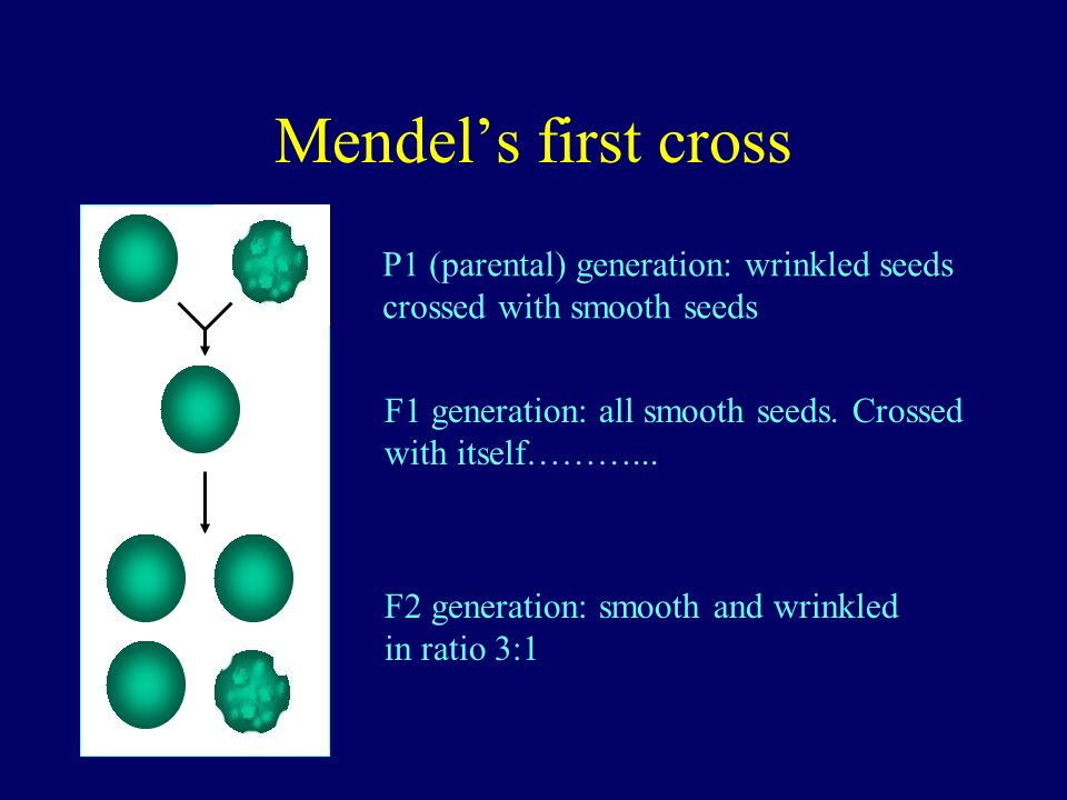 Mendel's first cross P1 (parental) generation: wrinkled seeds