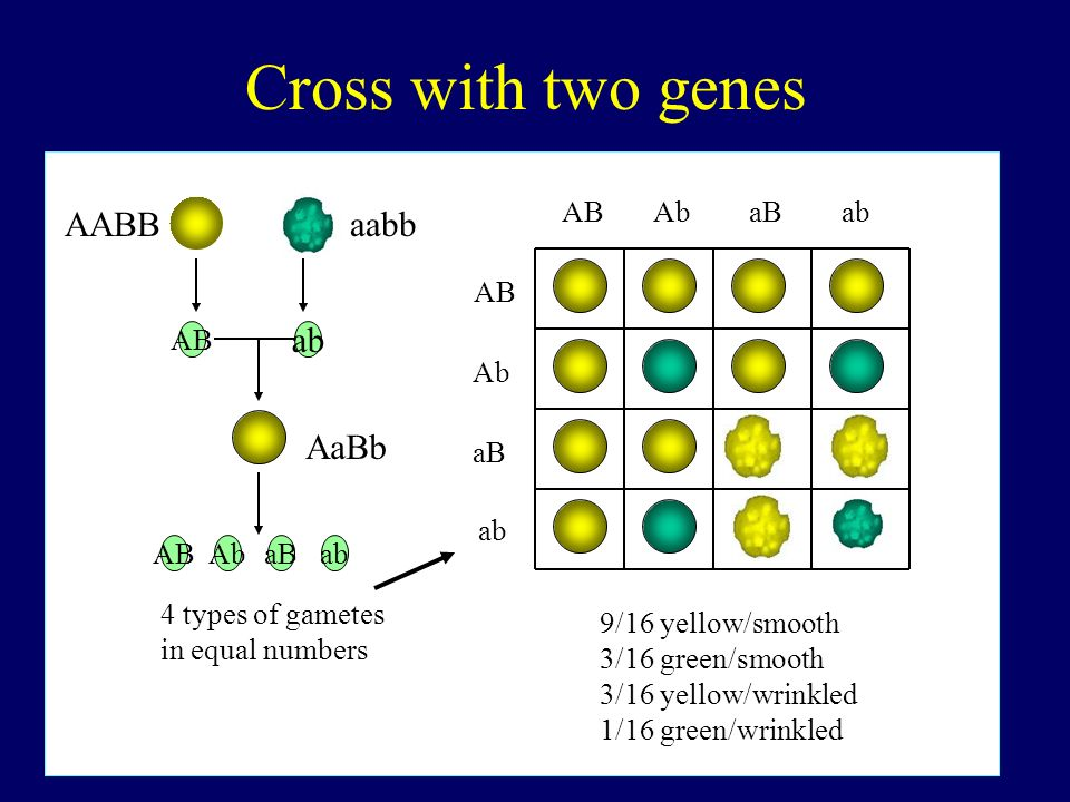 Cross with two genes AABB aabb ab AaBb AB Ab aB ab AB Ab aB ab AB AB