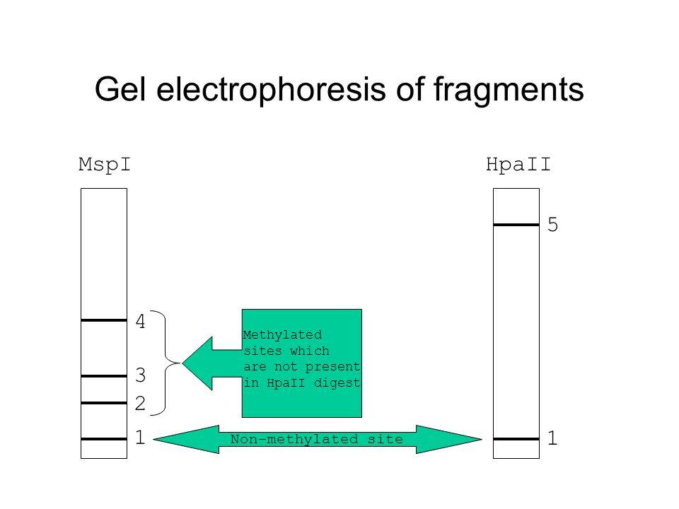 Gel electrophoresis of fragments