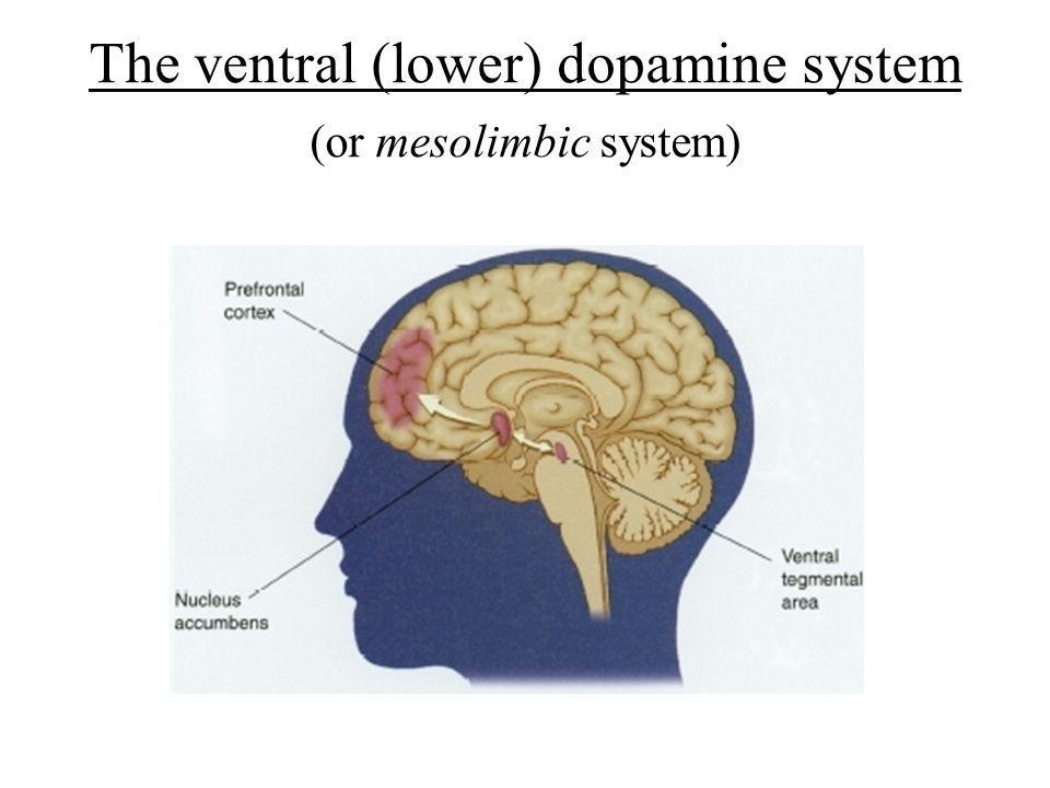 The ventral (lower) dopamine system (or mesolimbic system)