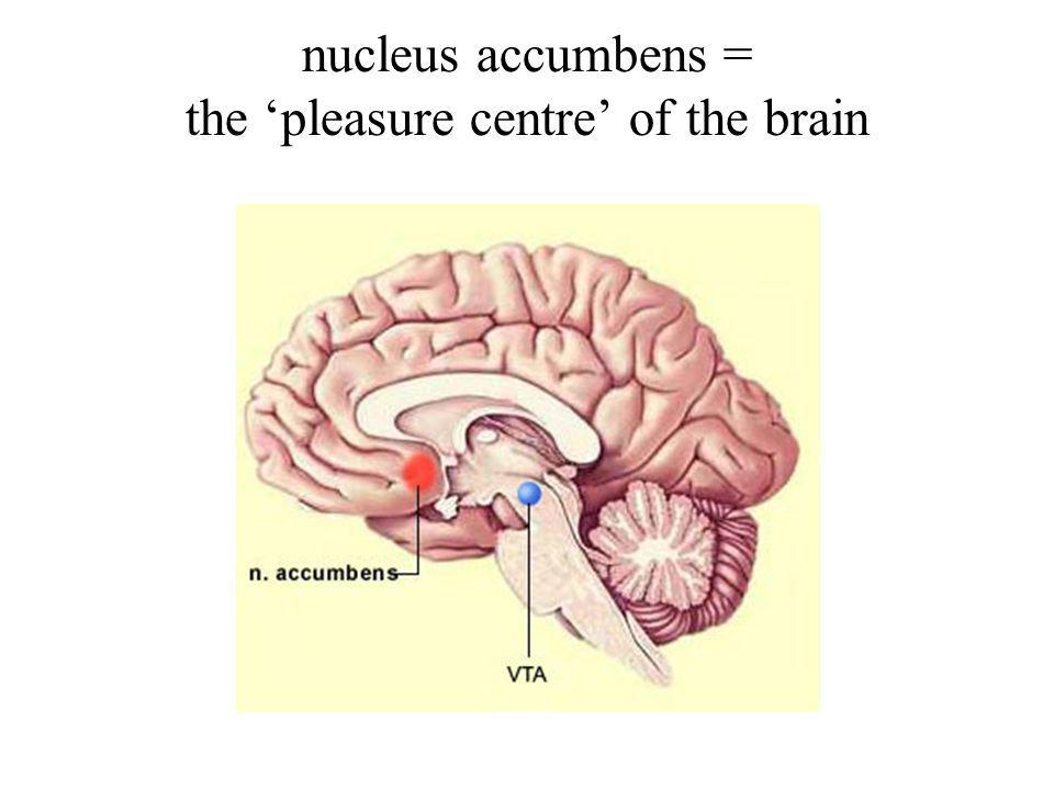nucleus accumbens = the 'pleasure centre' of the brain