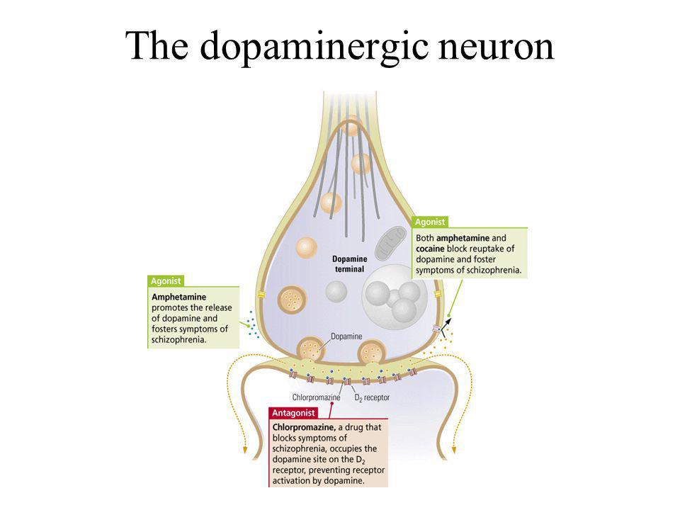 The dopaminergic neuron