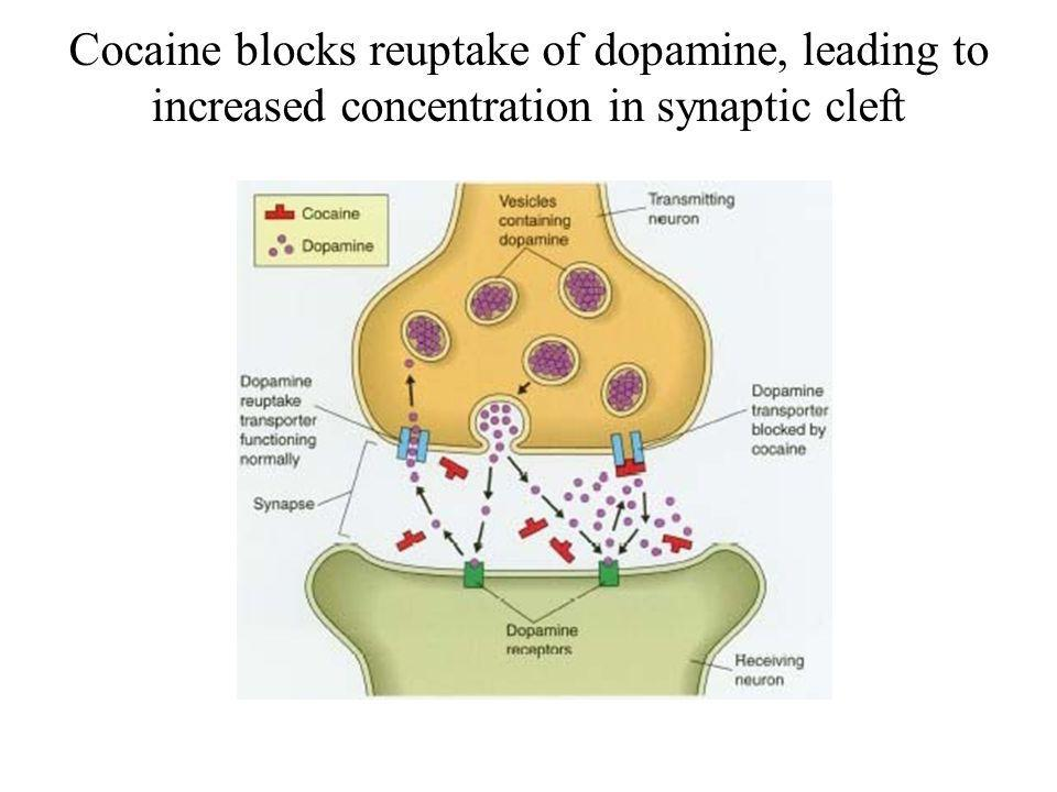 Cocaine blocks reuptake of dopamine, leading to increased concentration in synaptic cleft