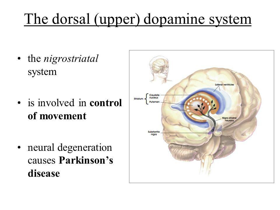 The dorsal (upper) dopamine system